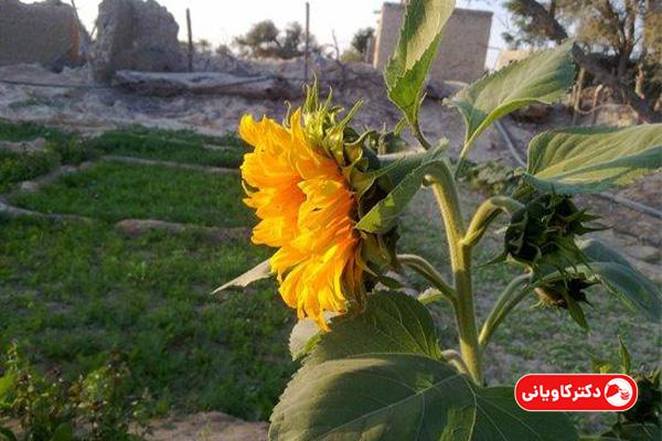 پرورش گل آفتابگردان از ایده های پولساز در روستا